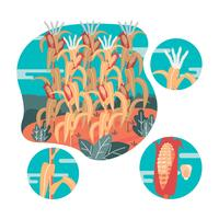 Corn Stalks Vector Illustration