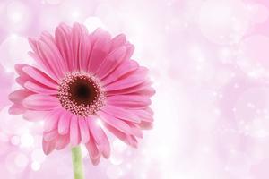 Rosa Gerbera-Gänseblümchen