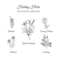 Holistic Medicine. Healing Herbs Illustration.