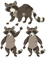 Raccoon in three positions