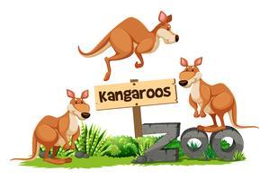 Tres canguros en el signo del zoológico