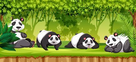Sats av pandaer i djungeln