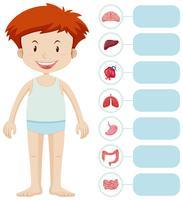 Menino humano e diferentes órgãos
