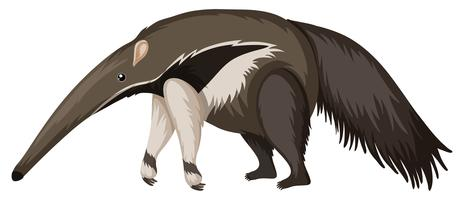 Anteater on white background