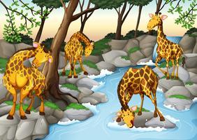 Cuatro jirafas bebiendo agua del río.