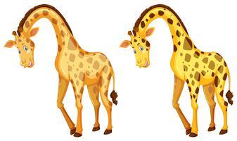 Deux girafes sauvages sur fond blanc