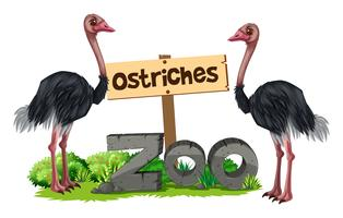 Ostriches at the zoo