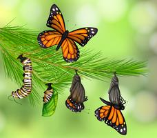 Una serie di Butterfly Life Cycle