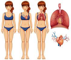 mänsklig anatomi av lung och hjärta