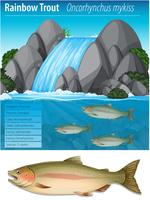 Rainbow trout information poster vector