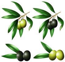 Grüne und schwarze Oliven am Zweig