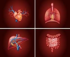 Cuatro partes diferentes de los órganos humanos.