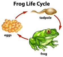 Un ciclo de vida de rana sobre fondo blanco