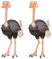 Two ostriches on white background