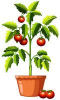 Un plant de tomate sur fond blanc