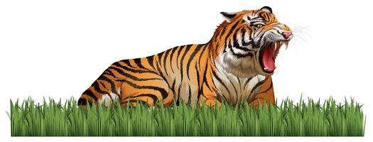 Tigre salvaje ruge en el campo