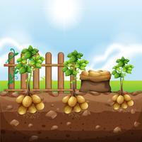 Conjunto de cultivos de patata.