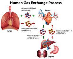 Diagramm zum Prozess des Austauschs von menschlichen Gasen