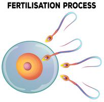 Diagram of fertilisation process vector
