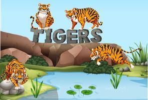 Cuatro tigres junto al estanque.