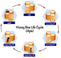 Ciencia ciclo de vida de la abeja