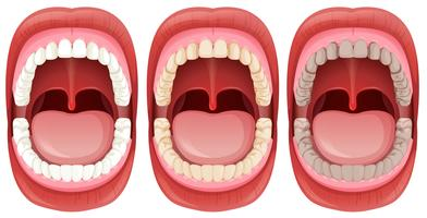 A Set of Human Mouth Anatomy