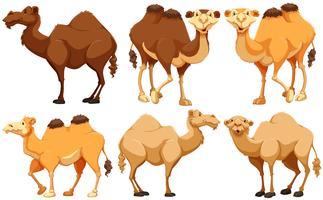 Camellos vector