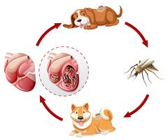 Heartworm life cycle chart