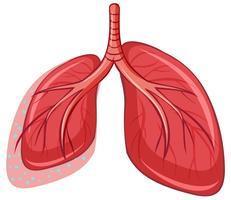 Mänsklig lunga på vit bakgrund