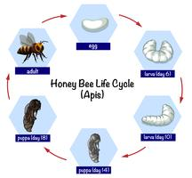 Honey bee life cycle