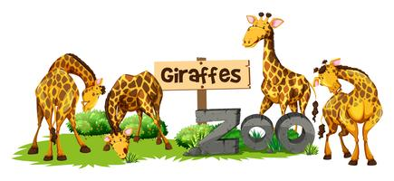 Four giraffes in the zoo