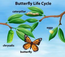 Diagrama del ciclo de vida de la mariposa