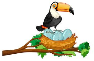 toucan sitting on nest of eggs vector