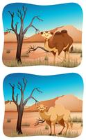 Two scenes of camel in desert