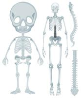 Skeletal system for human being