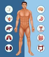 Diagrama mostrando homem humano e diferentes órgãos