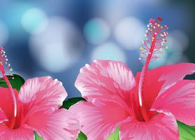 Bougainvillea in roze kleur