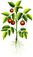 Verse tomaat op de boom