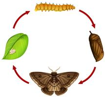 Moth life cycle concept