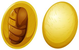 Silkworm cocoon white background