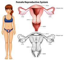 Female Reproductive System on White Background vector