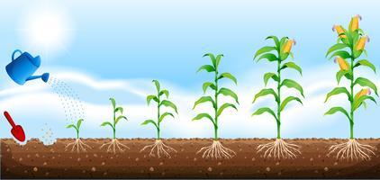 En uppsättning av majsutveckling