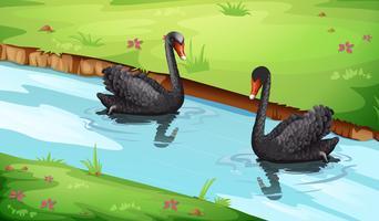 Cisne negro en el lago