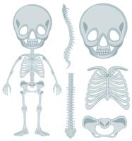 Human skeleton for young kid