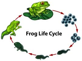 Cycle de vie de la grenouille digram