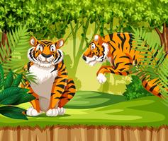 Tigers in the jungle