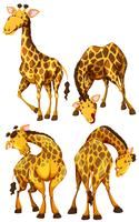 Giraffe in four different poses