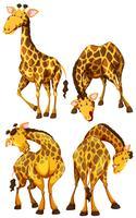 Giraffe in vier verschiedenen Posen