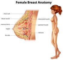 Menschliche Anatomie der weiblichen Brust
