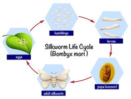 Silkworm life cycle diagram